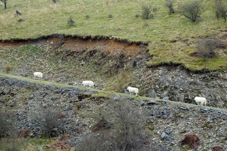 diagonal sheep