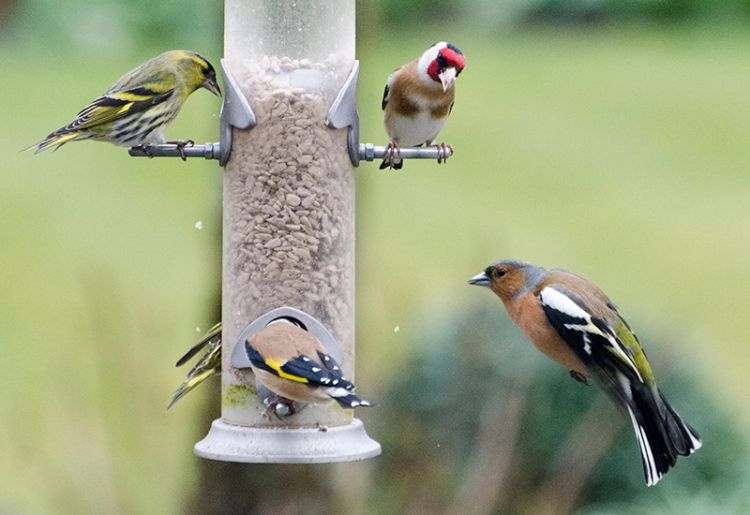 disaproving goldfinch