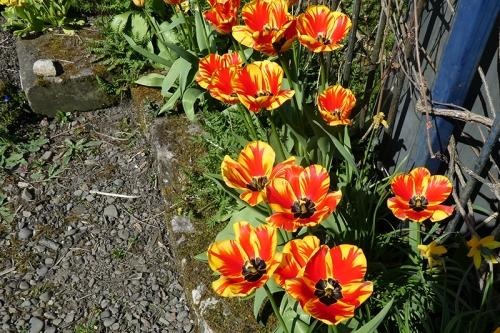 drive tulips