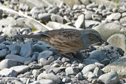 dunnock in shadow