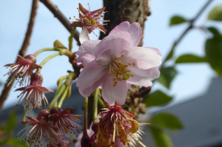 Ediburgh blossom
