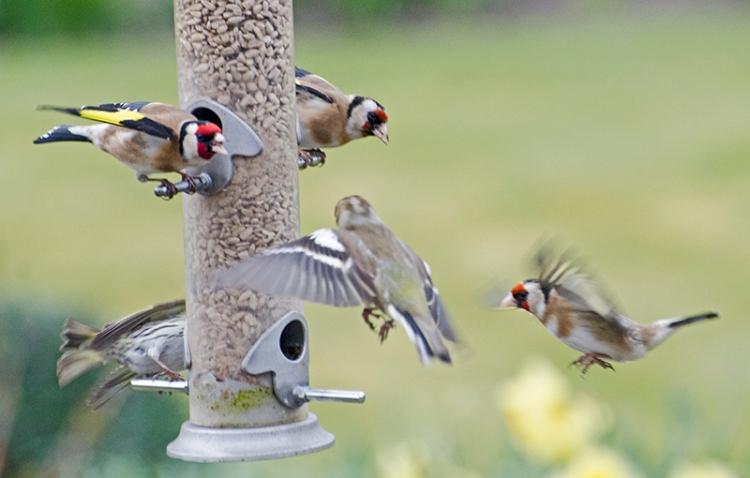 fierce goldfinches