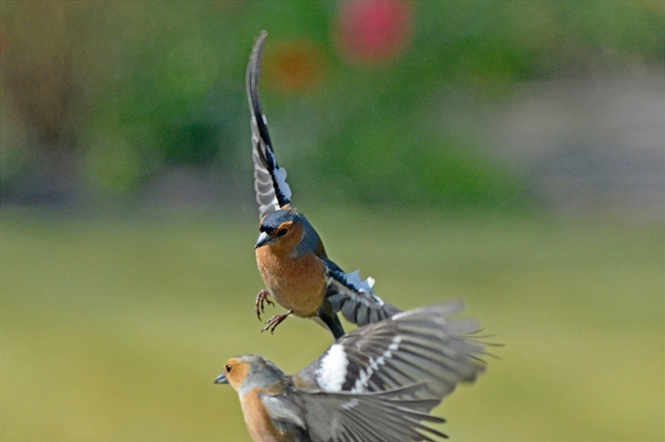 flying chaffinch attempt