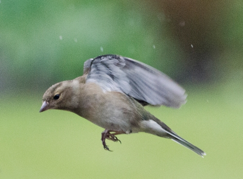 flying chaffinch in the rain