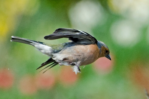 flying chaffinch with ruffles