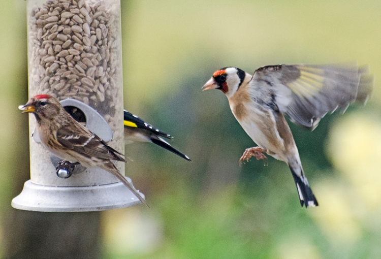 flying goldfinch and redpoll