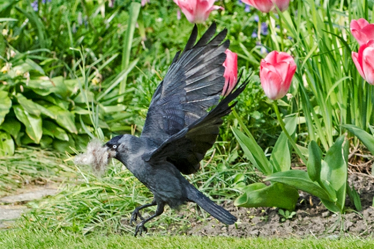 flying jackdaw with wool