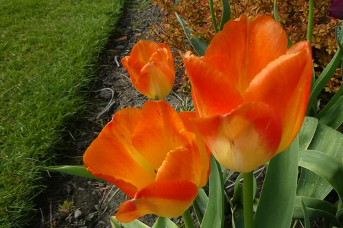 four bright tulips