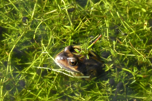 frog and tadpoles
