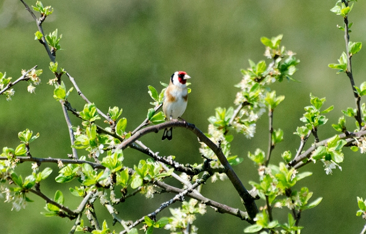 goldfinch and plum tree leaves