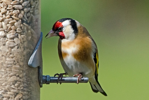 goldfinch concentrating