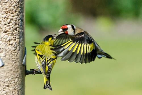 goldfinch embracing siskin