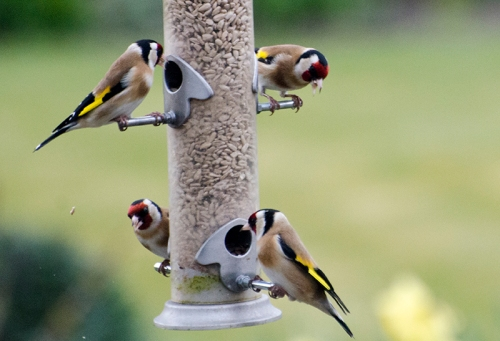 goldfinch gang