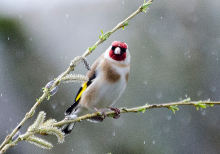goldfinch on fake tree