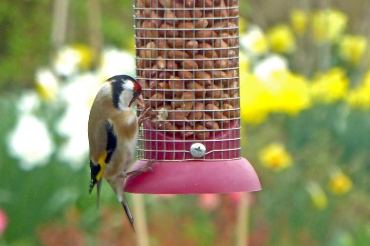 goldfinch on nuts