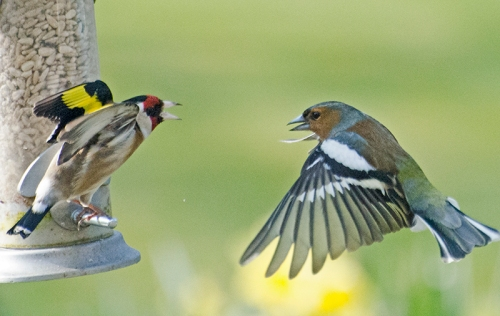 goldfinch shouting at chaffinch