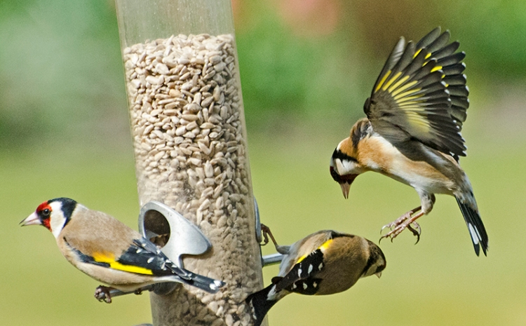 goldfinches fighting
