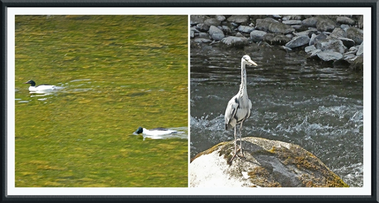 goosander and heron