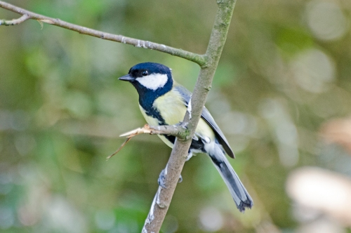 great tit at laverock hide