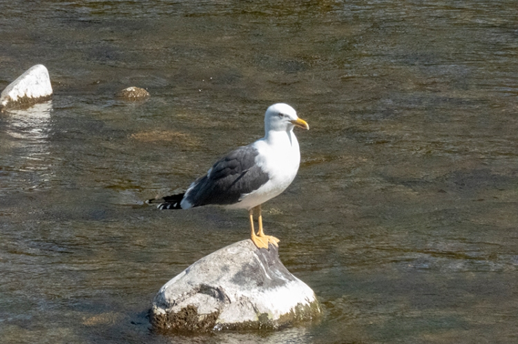 gull on rock in river