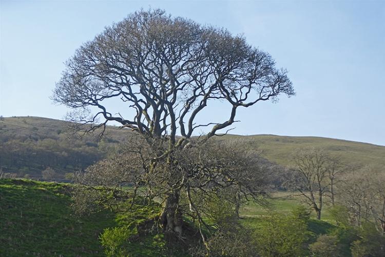 high mill brig tree