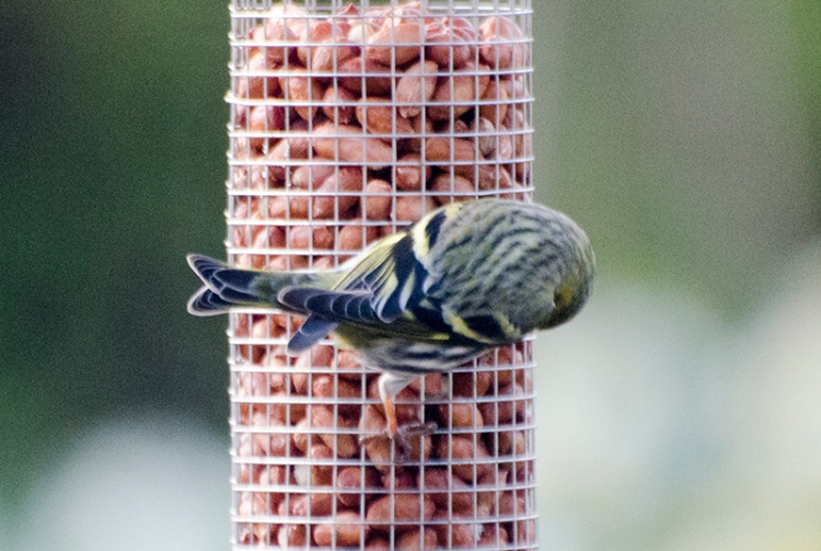 horizontal siskin on nuts