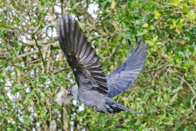 jackdaw with wool flying off