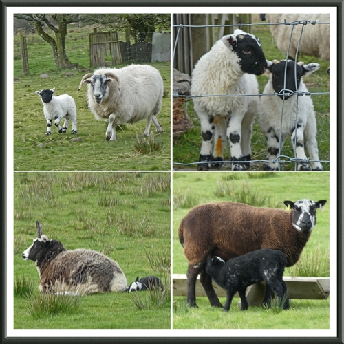lamb oanel