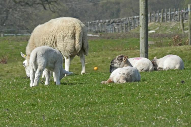 lambs broomholmshiels