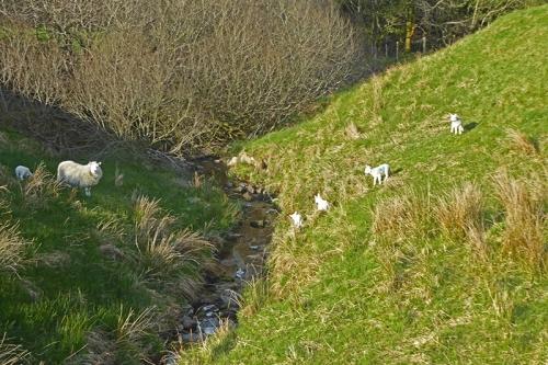 lost lambs