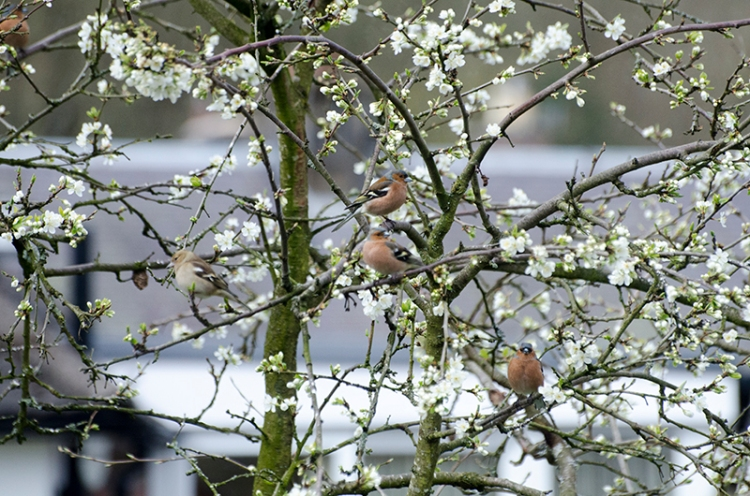 lots of chaffinches in plum tree