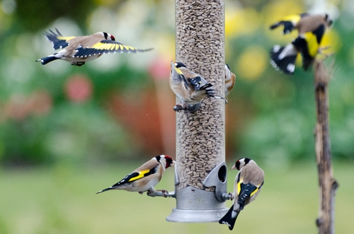 lots of goldfinches