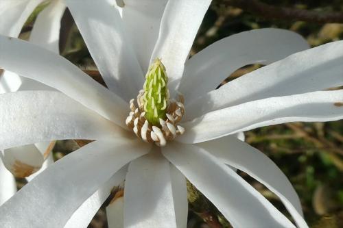 magnolia flower centre