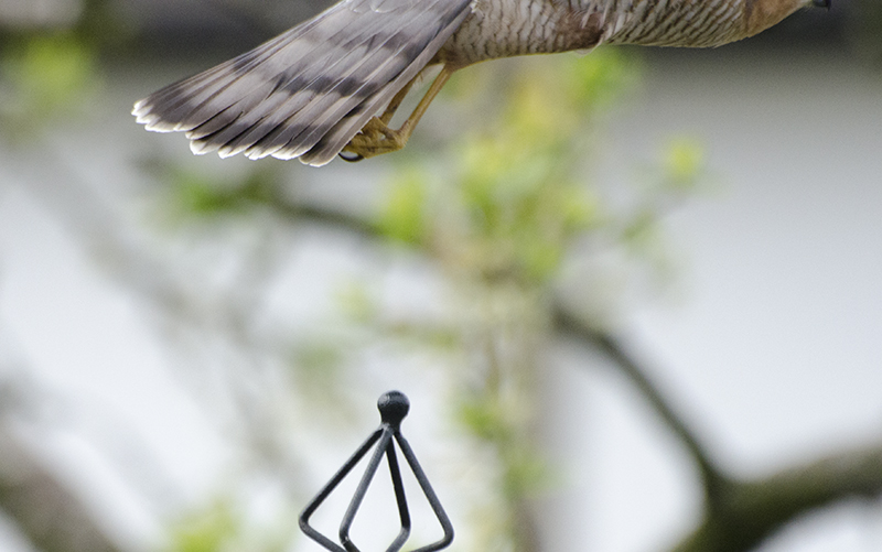 missing sparrowhawk