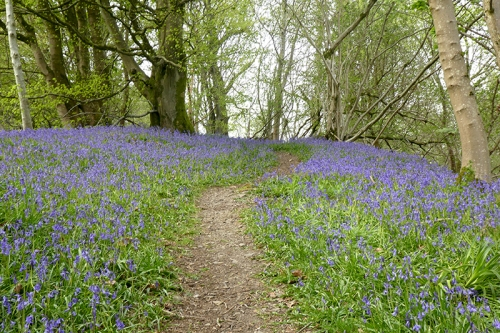 more bluebells 2