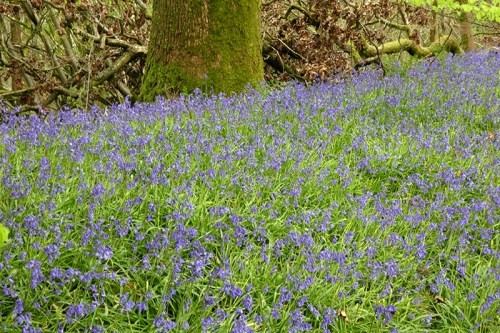 more bluebells 3