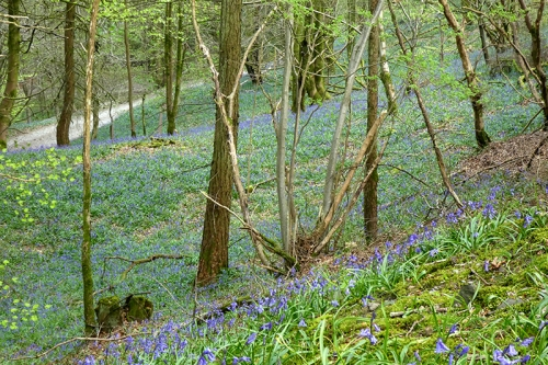 more bluebells 4