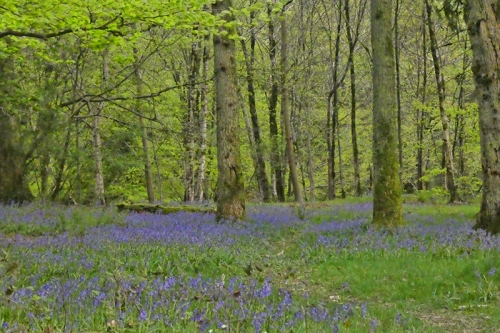 more bluebells 5