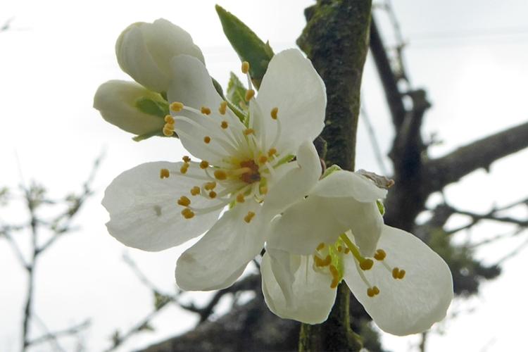 more plum blossom