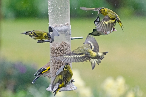 more siskins in conflict