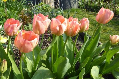 mystic Van Eijk tulip