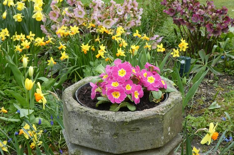 new primroses in chimney
