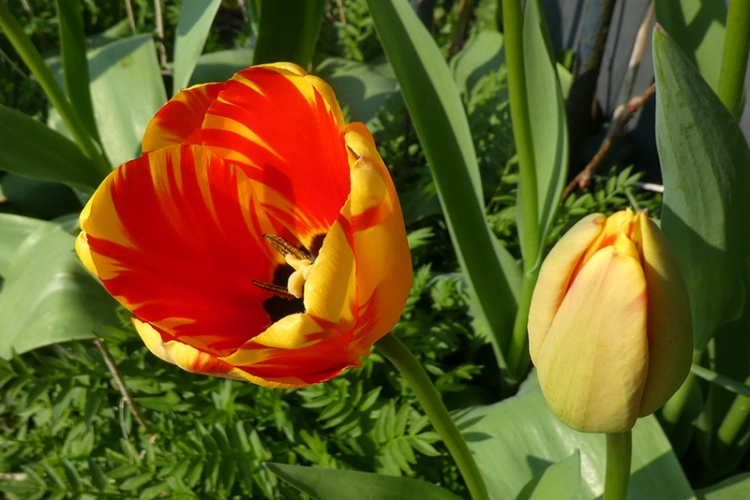 new tulip