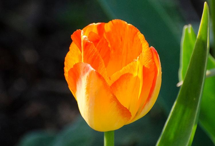 orange tulip sun