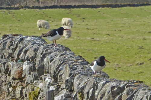 oyster catchers on wall