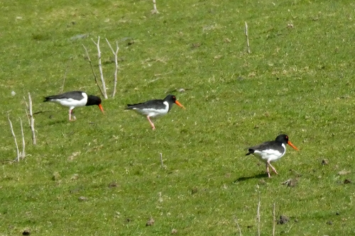 oyster catchers St Mary's Loch