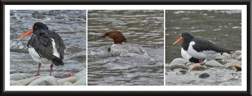 oystercatcher and goosander