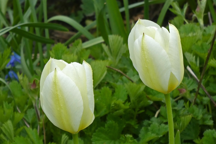 pale tulips