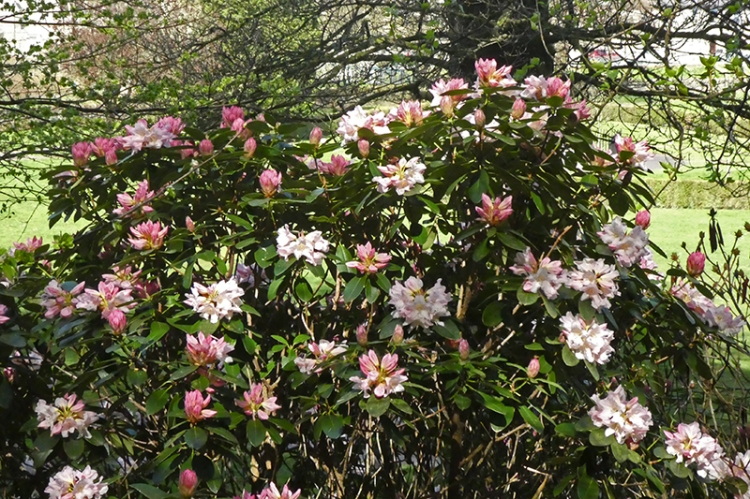 park rhododendron