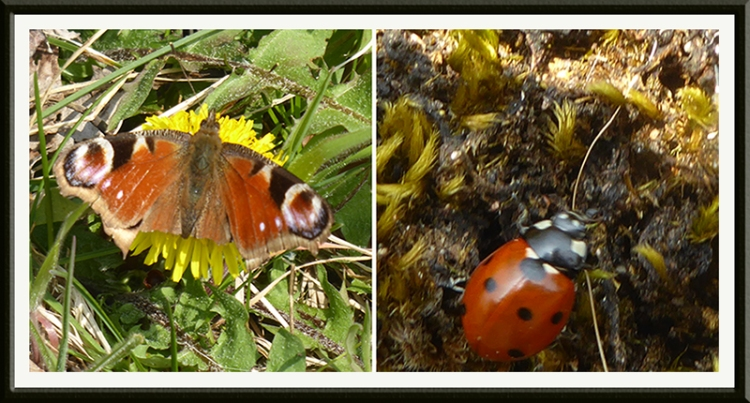 peacock butterfly and lady bird